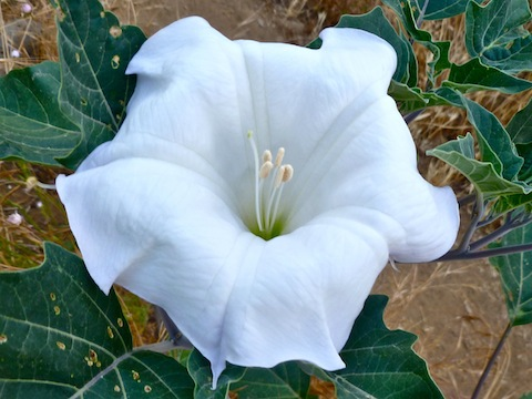 Sacred Datura is a flower, not a yoga position.