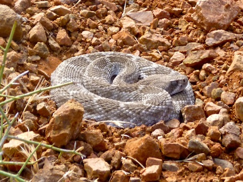 Baby rattler, as opposed to baby-eating rattler. He may be molting, which would explain his lack of aggression.