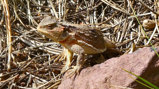Horney Toad on Lake Mountain.