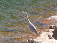 I can't believe this Great Blue Heron let us walk within 20 feet of him. Maybe he was waiting for a handout?