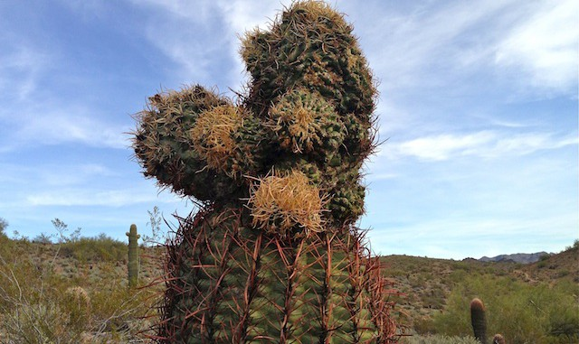 Unusual barrel cactus
