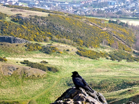 Crow looking at Whinny Hill.