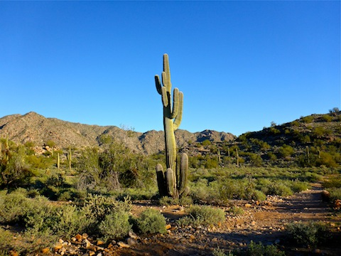Many odd & interesting saguaro on this hike.