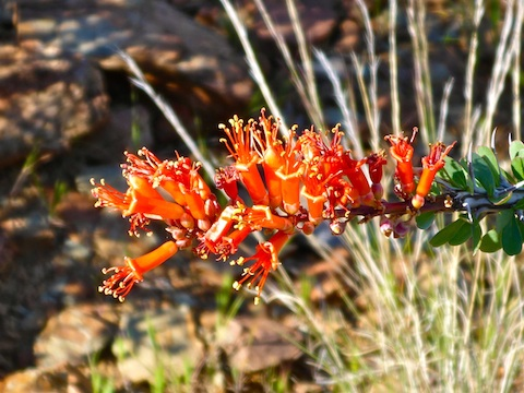 Not too many ocotillo blooming, yet, but this one was beautiful.