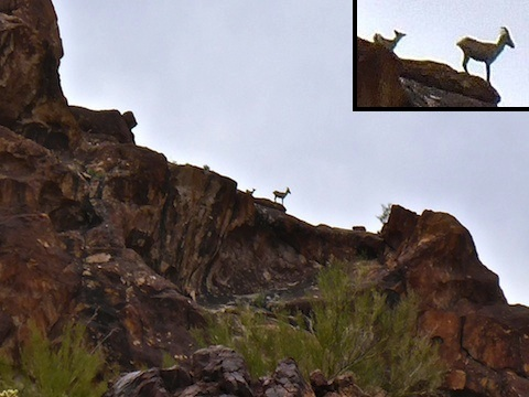 Two bighorn sheep, about 400 yards away.