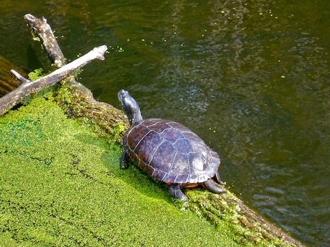 The biggest turtle I saw. I thought at first it was Rodan!