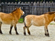 Przewalski's Horse ... male in back kept getting kicked by the female in front. We left before my grandaughter witnessed anything unexplainable to a 3-year old.