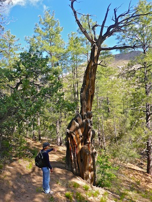 This tree on Clark Spring Trail #40 died of old age, not fire.