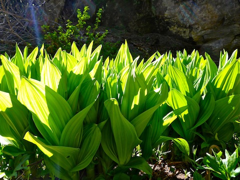 Lots of False Hellebore (aka Corn Lilly) though!
