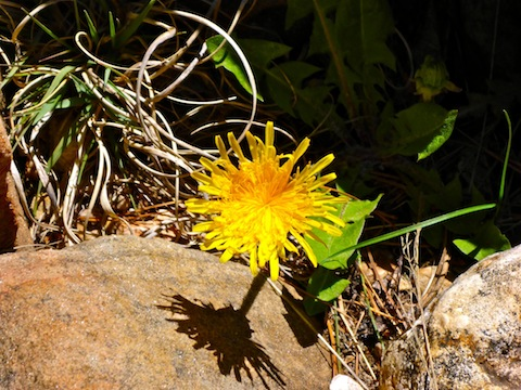 Not many flowers in East Miller Canyon, except dandelions.