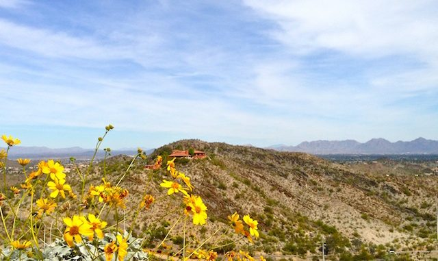 Brittlebush on North Mountain. Looking across 7th St., towards the Pointe Tapatio resort.