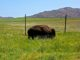Buffalo near Mount Marcy. The Wichita Mountains Wildlife Refuge has herds of buffalo but, unlike 2008, we saw only this one.