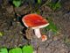 One of many interesting, even beautiful, varieties of mushroom on the Ice Age Trail.