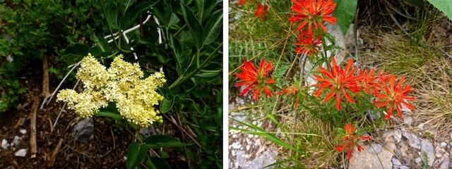Some rare Fletcher Canyon color: western blue elder (left) and paintbrush of unknown species (right).