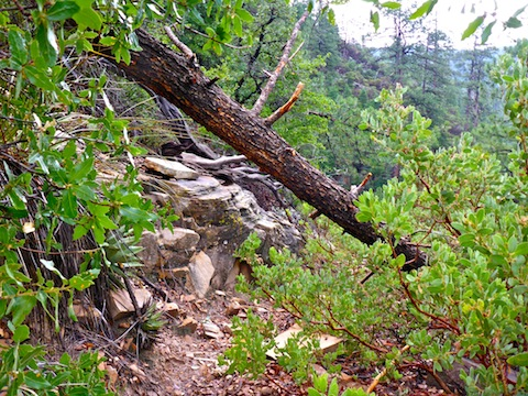 One of the smaller fallen logs on the Pine Canyon Trail switchbacks down the Mogollon Rim.
