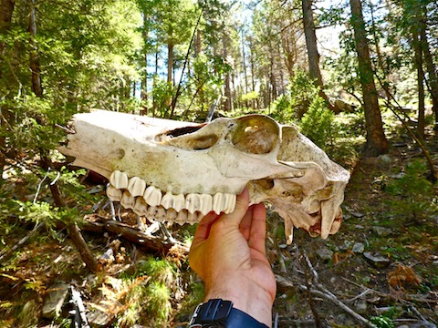 Nearly intact female elk skull. This baby is going on the castle wall.