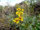 One of many, many brittlebush that were in full bloom.