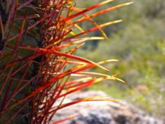 I loved the way the sun back list the needles on this barrel cactus!