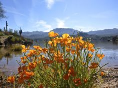 My favorite photo of the day: Mexican Gold Poppy with Bartlett Lake in back.