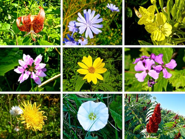 Flowers of the Wild Goose State Trail.
