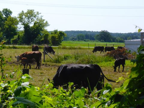 The only cows I spotted between Fond du Lac and Oakfield.