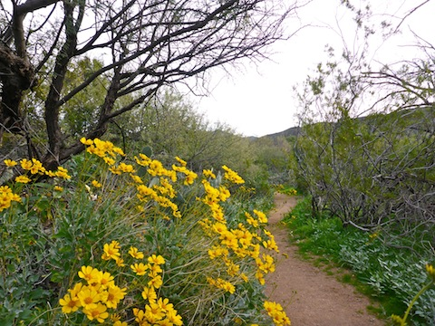 Brittlebush on Towhee Trail. Note the pristine trail surface.